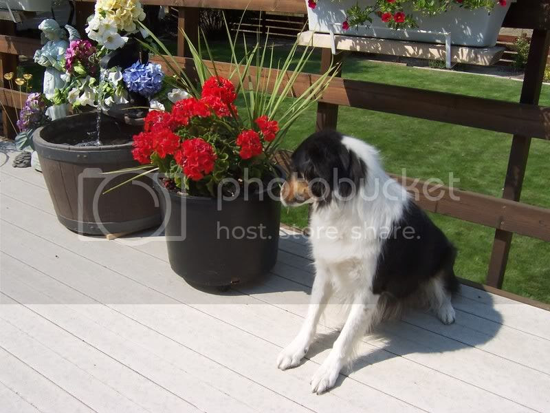 Willow with geraniums