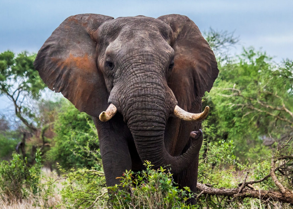 Image result for elephant picture