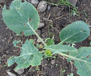Brassica plant being eaten by caterpillars