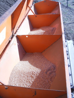 Wheat Seed in the Grain Drill