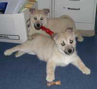 Norwegian Buhund Happy Puppies