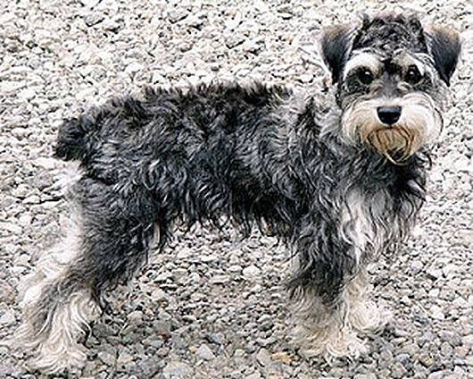 Schnoodle1