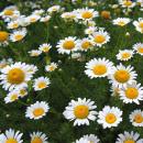 Manzanilla, cultivo y cuidados de esta planta aromática y medicinal