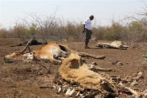 Limpopo farmers desperate for relief as cattle succumb to