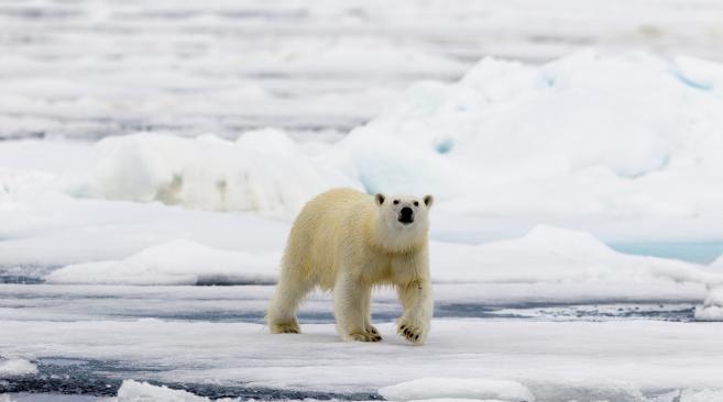 La fonte de la banquise oblige les ours polaires, comme celui-ci en Norvège, à parcourir plus de kilomètres pour se nourrir en été.