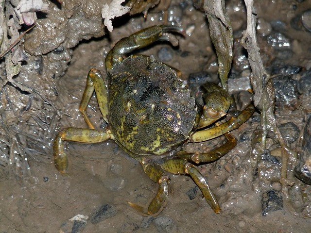 25098 - Crab, Llangennech Marsh