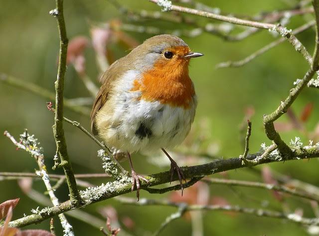 26930 - Robin, Llanelli WWT