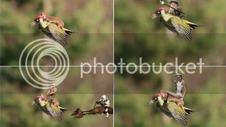 photo 05 Weasel Riding Woodpecker_zpsfucet5ye.jpg