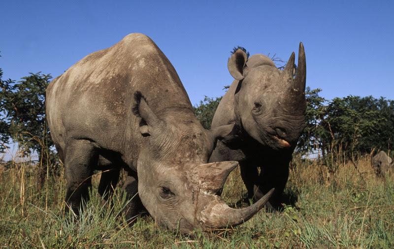 Ronocerontes