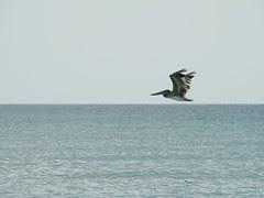 Brown pelican fly over