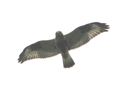 Rough legged hawk 1