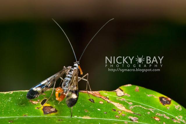 Scorpionfly (Mecoptera) - DSC_6221