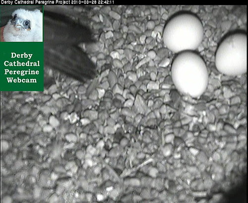 Third Egg - Derby Cathedral Peregrine Falcons