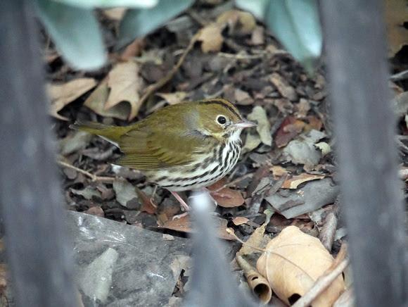 Ed Gaillard: birds &emdash; Ovenbird, Bryant Park
