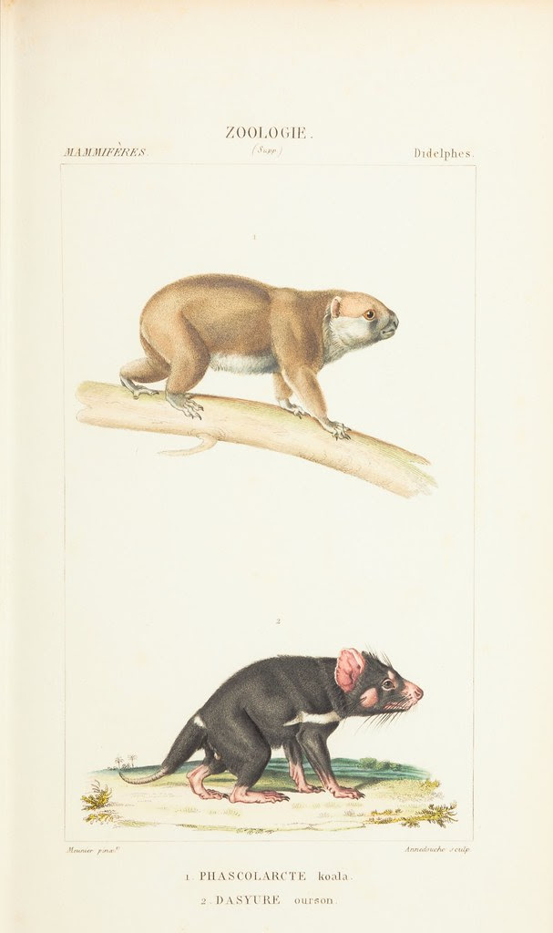 koala + Tasmanian devil illustrations