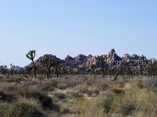 JoshuaTree-forest
