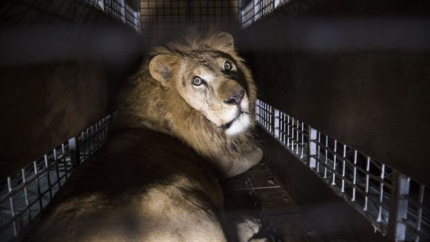 A crate carrying one of the 33 Lions rescued from circuses in Peru and Columbia is lifted onto the back of a lorry before being transported to a private reserve on April 30, 2016 in Johannesburg, South Africa.