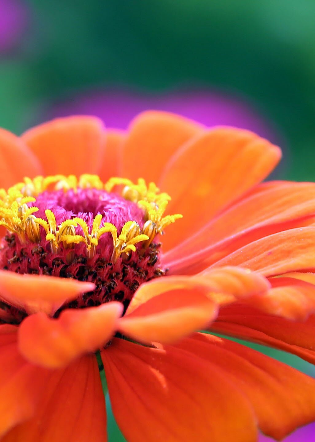 Gerbera flower, 35 best flower photos
