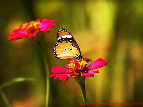 wallpapers  butterfly desktop wallpaper hd