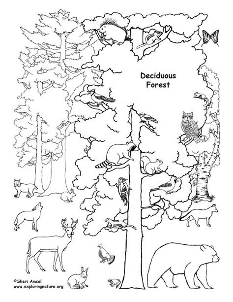 deciduous forest  animals coloring page