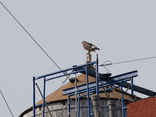 Juvie Red-Tail at Riverside & 145th