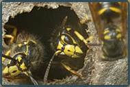 Yellow Jacket Control New Jersey | Yellow Jacket Control Services NJ | Yellow Jacket Pest Control NJ-Image
