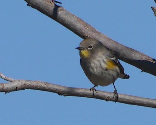 Audubon's Warbler (Yellow-rumped Warbler subspecies) - 1