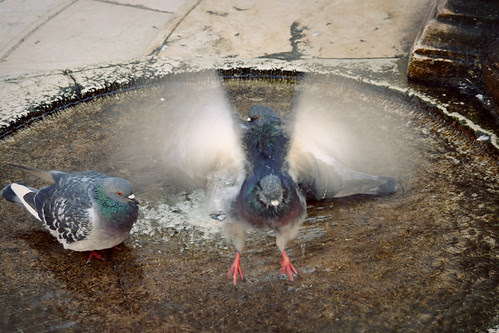 PigeoninFlight