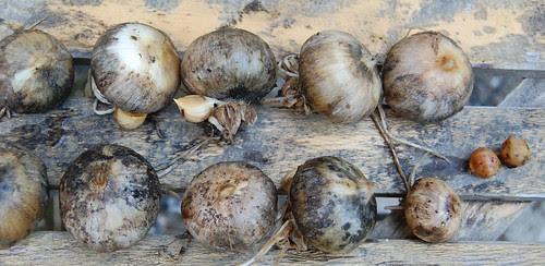 elephant garlic roundels