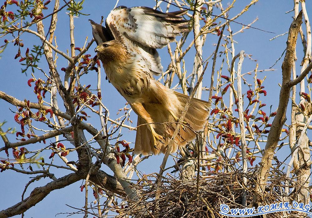 colorado red tailed hawk