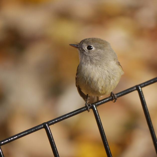 Ed Gaillard: birds &emdash; Hammond's Flycatcher, Central Park