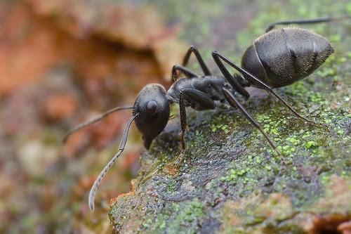 Camponotus sp. ant...IMG_0014 copy