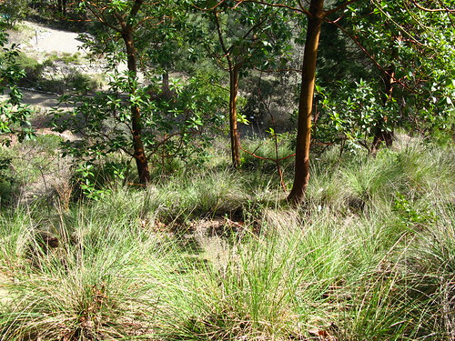 Arbutus menziesii + Muhlenbergia rigens