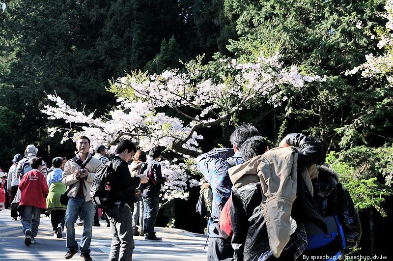 阿里山櫻花季58