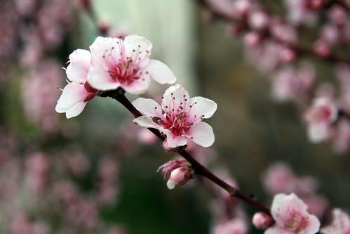 Fiore di Pesco
