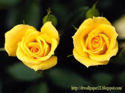 Desktop Wallpaper    Background Screensavers: Yellow Roses