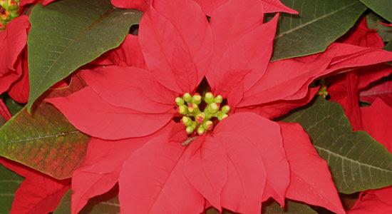 Bbc Gardening Blog Poinsettias For Christmas