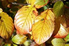 leaves 15