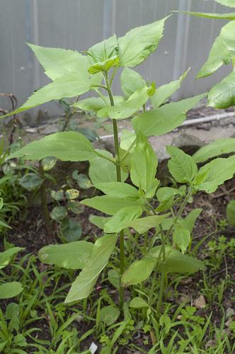 jerusalem articoke plant