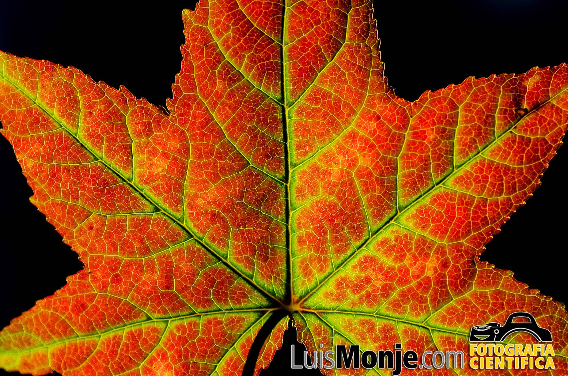 Luis Monje Fotografía Científicapor Qué Las Hojas De Los árboles