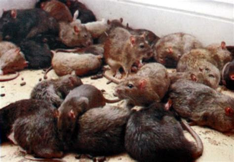 How To Get Rid Of The Unwanted Mice?