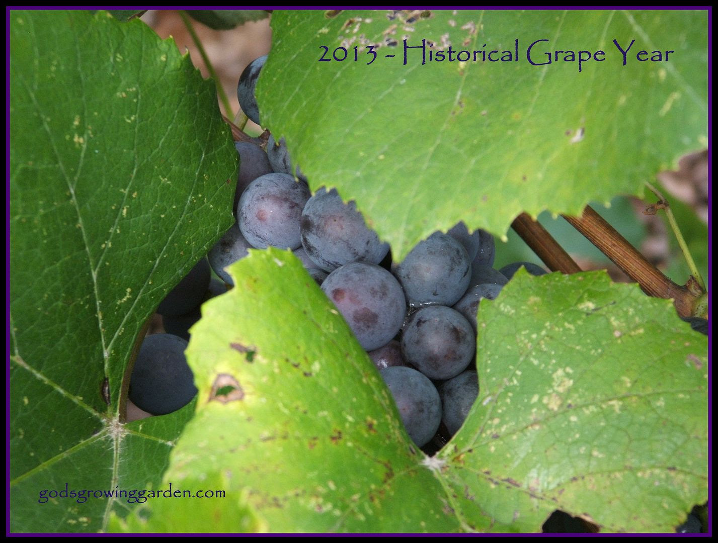 Grape Year by Angie Ouellette-Tower for godsgrowinggarden.com/ photo 010_zpsee8aadfb.jpg