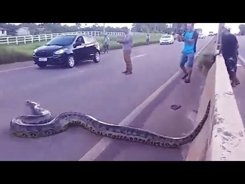 ANACONDA | Longest & Largest SNAKE in the World | KING of the snakes WORLD.