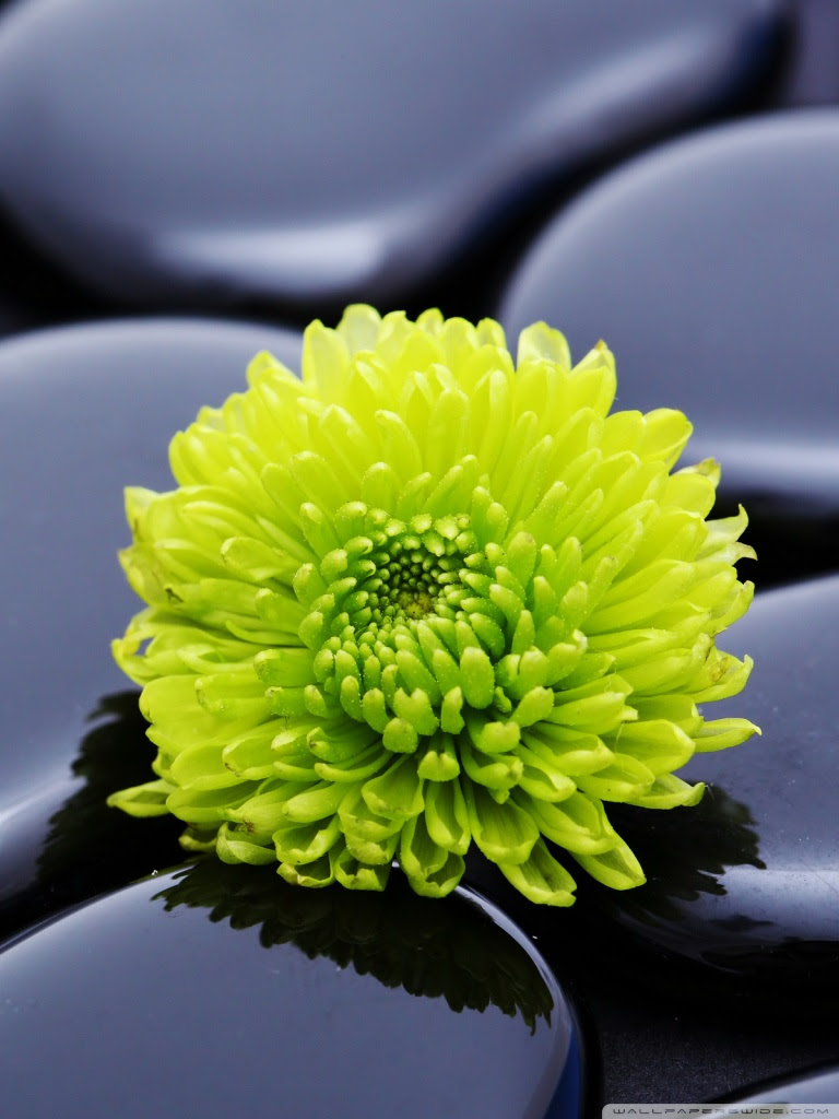 Black Zen Stones And A Yellow Mum Wallpapers Latest