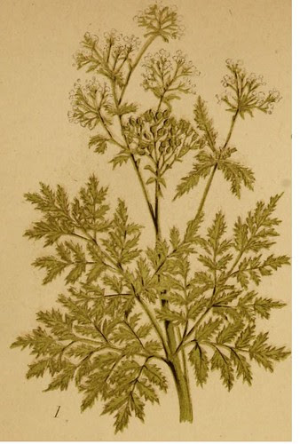 Common Hemlock