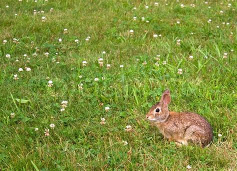 A wild bunny rabbit grazing in the grass in Connecticut at Hamonasset Sate Park   Stock Photo