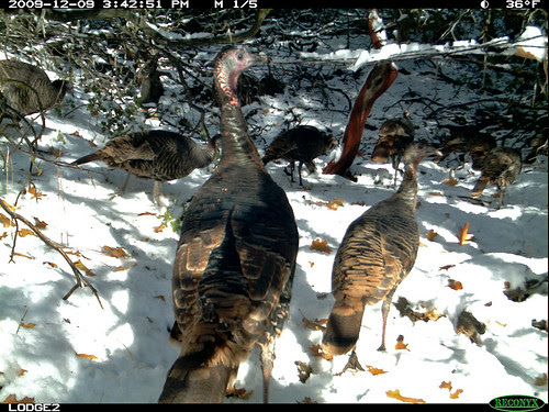 many turkeys