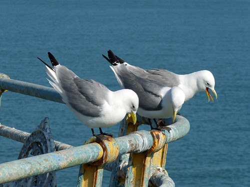22054 - Kittiwakes on Mumbles Pier