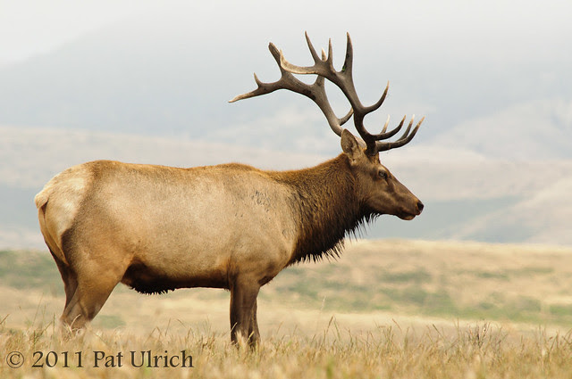 Bull tule elk - Pat Ulrich Wildlife Photography
