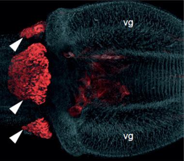 <p>La expresión de la toxina (en rojo) situada en un órgano distinto al que se creía hasta ahora. / Christoph Bleidorn</p>